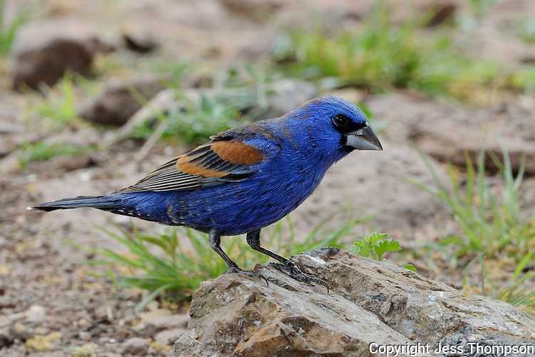 Blue Grosbeak, Davis Mountains State Park, Texas