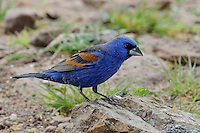 Blue Grosbeak, Davis Mountains State Park, Texas