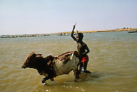 Peul (Fulani) herdsmen from Macina cross the Niger river with their cattle. This event, crossing the waters, recalls two myths: the ancestors of the Peul's journey from India, during which they crossed the Red Sea to reach Africa, and the origin of the cow, whcih, according to an African myth, sprang from the water..A very important ritual which, not by chance, coincides with Mali's national day (21.10)..