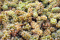 Wine grapes ready for crushing.
