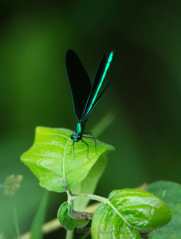 Ebony Jewel-wing Damselfly male