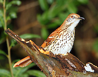 Brown thrasher in fall migration