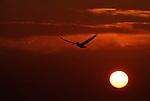 Brown Pelican, Pelecanus occidentalis, in flight, against orange setting sun sky, flying. .USA....