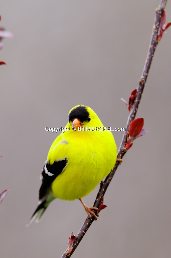 00445-02820 American Goldfinch male is perched in a crab apple tree showing new leaves.