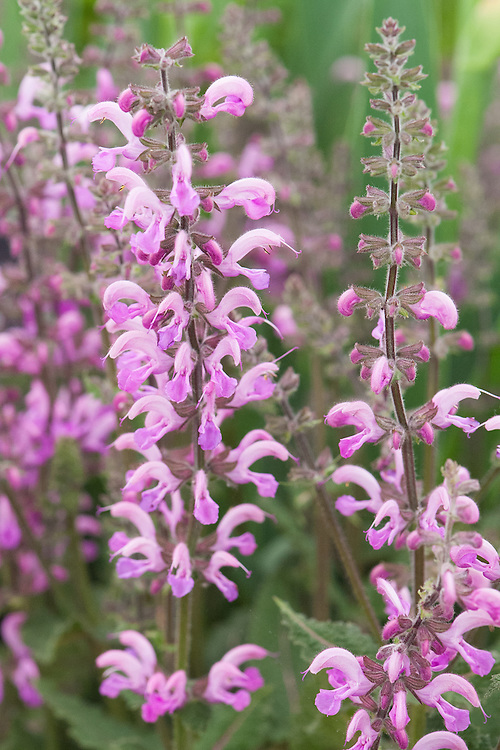 Salvia x sylvestris 'Rose Queen'