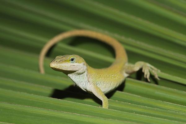 Green Anole (Anolis carolinensis), adult on palm frond, Sinton, Corpus Christi, Coastal Bend, Texas, USA