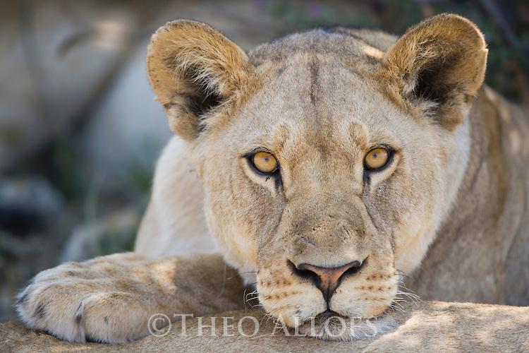 Lion (Panthera leo)  cub staring