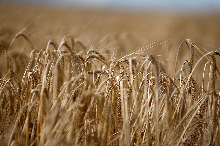 Photo: Richard Lane/Richard Lane Photography. Grain harvest near Amersham, Buckinghamshire. 17/08/2008. Spring barley.