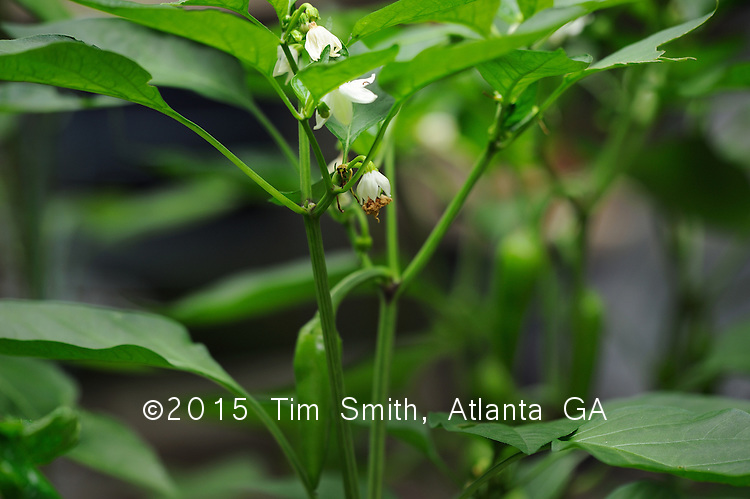 July 19, 2008  Atlanta Ga..Bulgarian carrot pepper plants are shown here in flower and with ripening fruit.  An heirloom variety that is open-pollinated with a very heavy yield per plant.