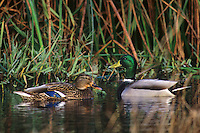 559003007 a male and female mallard anas platyrhynchos swim in a small reed filled pond in southern california
