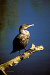 FL: Florida Everglades National Park, bird, anhinga .Photo Copyright: Lee Foster, lee@fostertravel.com, www.fostertravel.com, (510) 549-2202.Image: flever258