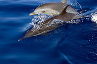 pantropical spotted dolphin, baby with adult, Stenella attenuata, Kona, Big Island, Hawaii, Pacific Ocean