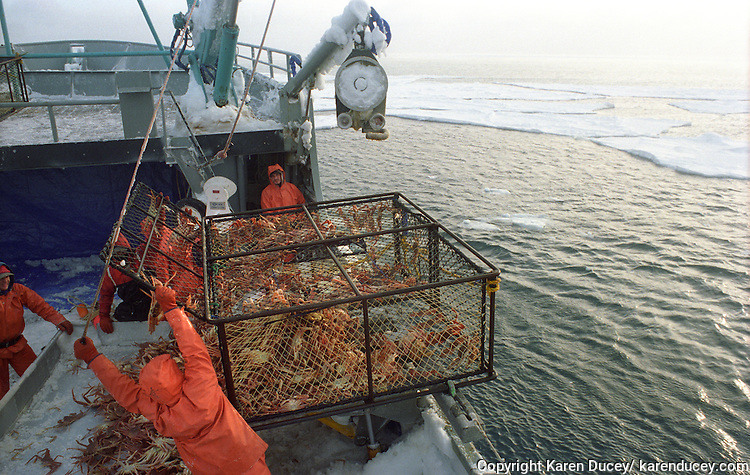 Deckhands unload a crab pot of opilio crab onboard F/V Kiska Sea, while fishing in the arctic ice floes of the Bering Sea.
