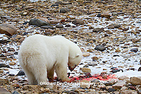 01874-12915 Polar bear (Ursus maritimus) eating Ringed Seal (Phoca hispida)  in winter, Churchill Wildlife Management Area, Churchill, MB Canada