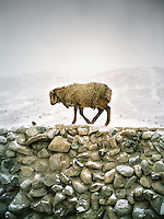 A sheep on a pen's wall..Campment of Ortobil (Sufi), all the way at the end of the Little Pamir, near the Tajik/China border. .Winter expedition through the Wakhan Corridor and into the Afghan Pamir mountains, to document the life of the Afghan Kyrgyz tribe. January/February 2008. Afghanistan