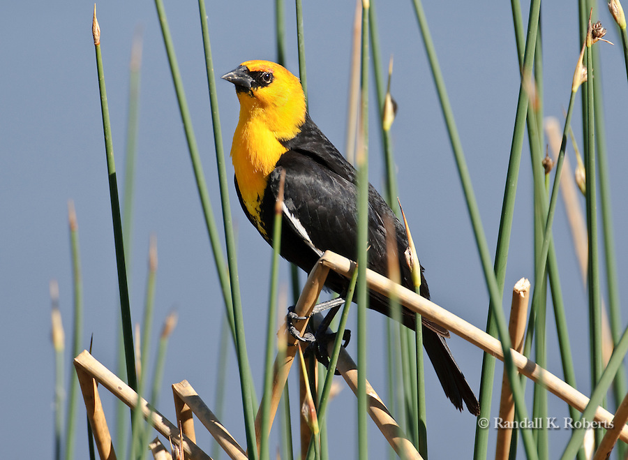 A yellow-headed blackbird (Xanthocephalus xanthocephalus) perches on reeds near a small lake in Broomfield, Colorado