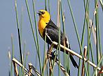 A yellow-headed blackbird (Xanthocephalus xanthocephalus) perches on reeds near a small lake in Broomfield, Colorado