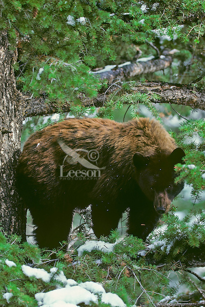 Black Bear standing on tree limb--black bears often rest and seek safety by climbing trees.  Western U.S., October.