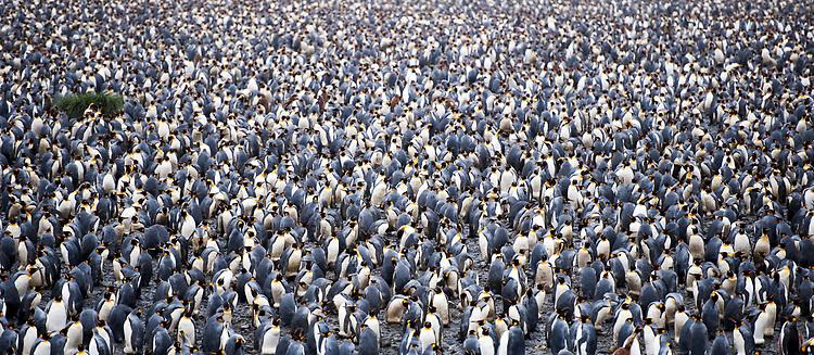 The huge King Penguin (Aptenodytes patagonicus) colony at Salisbury Plain, South Georgia