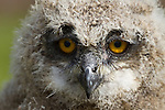 European Eagle Owl Chick