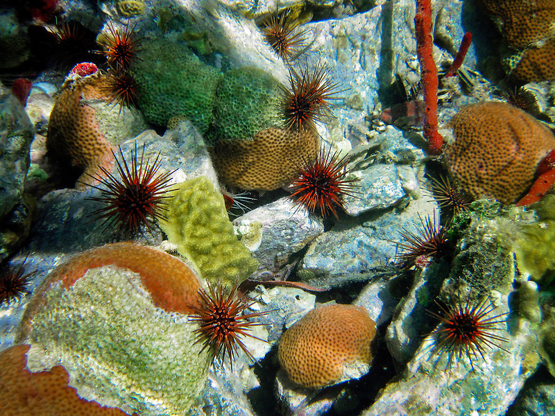 Long Spined Sea Urchins, and Scarlet Corals. St. John. Virgin Islands Virgin IslandsVirgin Islands Coral Reef National Monument.
