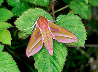 Elephant Hawk-moth Deilephila elpenor Wingspan 70mm. One of our most attractive moths. It is sometimes seen at dusk visiting flowers such as Honeysuckle. Adult has pink and olive-green wings and body. Flies May–June. Larva is brown or green; the head end fancifully resembles an elephant's trunk and eyespots deter would-be predators; when alarmed the head is contracted, enlarging the eyespots. Larva feeds on willowherbs. Common in southern and central England and Wales, and more locally in lowland Scotland.
