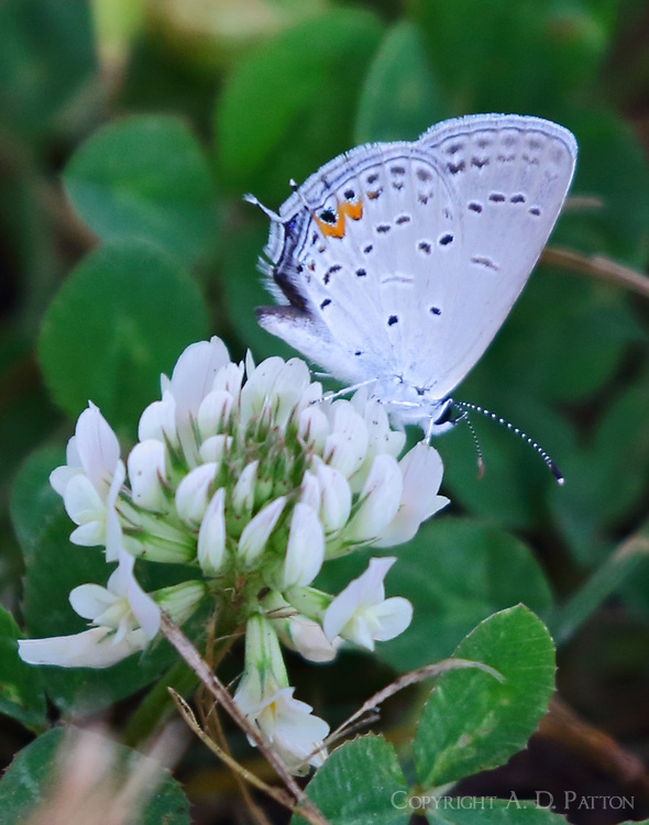 Male eastern tailed-blue