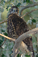 Immature Swainson's  Hawk seen in a tree after it left the nest, on a summer day in Utah.