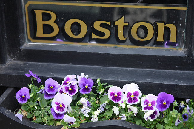 Boston window sign, pansies in window box. Beacon Hill, Boston, MA