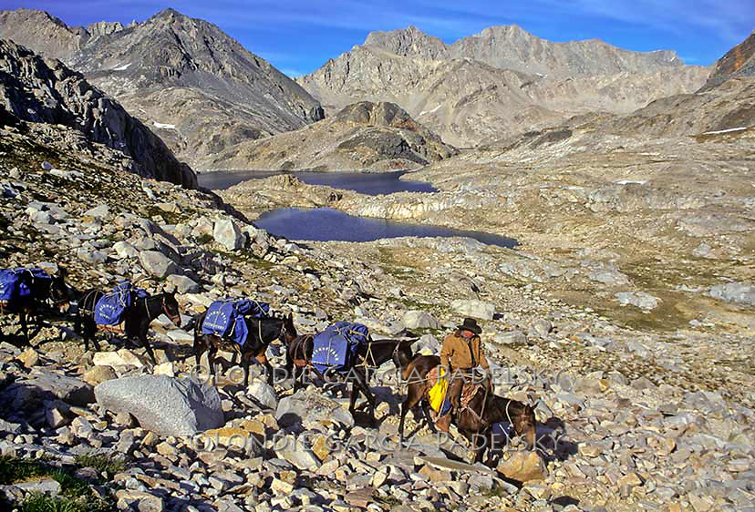 Cowboy leading pack mules over Muir Pass on the John Muir Trail, Kings Canyon National Park, California (elev. approx 11,000 ft.)