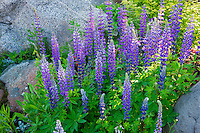 lupines and granite rocks. Joseph, Oregon