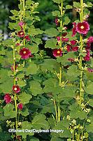 63821-05210 Hollyhocks (Alcea rosea), Marion Co.  IL