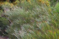Acacia viscidula - Sticky Wattle, Australian Native Plant Nursery, Ventura, California