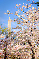 Washington Monument Cherry Blossoms Tidal Basin Washington DC Cherry Blossoms Washington Monument Tidal Basin Washington DC Cherry Blossoms Tidal Basin Washington DC<br />