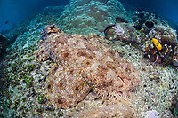 A Tasseled wobbegong, Eucrossorhinus dasypogon, lies on the bottom where its camouflage effectively hides it from potential prey. The wobbegong's head is fringed by branched tentacles that break up its outline. Raja Ampat, Papua, Indonesia, Pacific Ocean