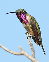 Adult male lucifer hummingbird