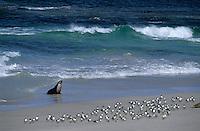 "Océanie/Australie/South Australia/Australie Méridionale/Ile Kangaroos/Seal Bay: Phoques ""Sea Lions"""
