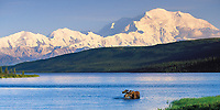 Bull moose feeds in Wonder lake, snow covered Mt. Denali, Denali National Park, Alaska