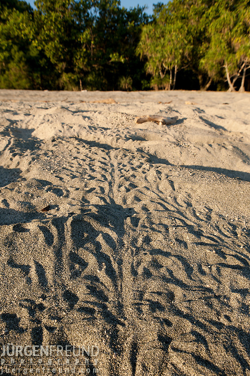 Leatherback baby turtle tracks on the sand. Ideally baby hatchlings come out of the sand at night and scramble to the sea leaving these baby track marks.