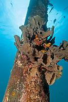 Branching vase sponge, Callyspongia vaginalis, Salt Pier Dive site, Bonaire, Caribbean Netherlands, Caribbean