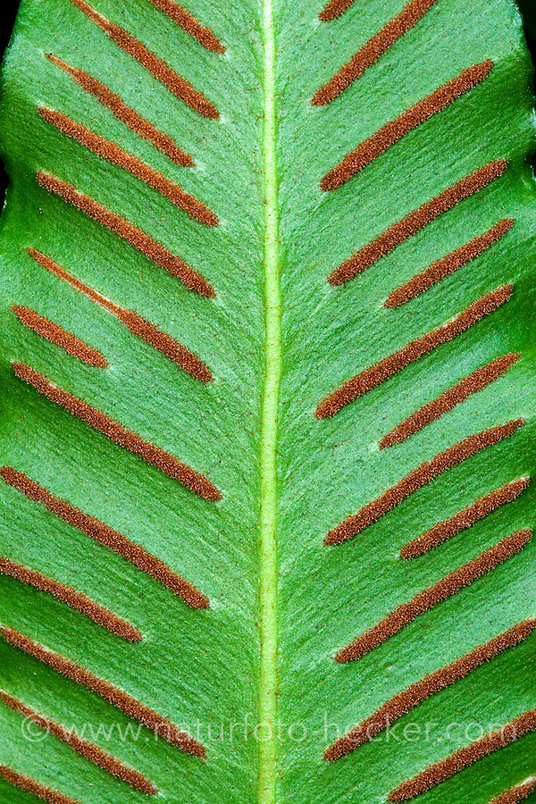 Hirschzungenfarn, Hirschzunge, Hirschzungen-Farn, Sporangien auf Blattunterseite in Sori, Asplenium scolopendrium, Phyllitis scolopendrium, Hart´s Tongue Fern, Scoloendre