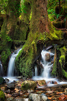 Seasonal stream flowing through roots of tree. Opal Creek wilderness. Willamette National Forest, Oregon
