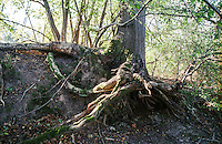 Parco del Ticino presso Vizzola Ticino (Varese). Le radici scoperte di un albero lungo la sponda del fiume --- Park of Ticino near Vizzola Ticino (Varese). The exposed roots af a tree along the river bank