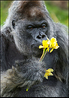 Longleat gorilla full of the joys of Spring.