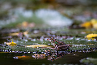A frog sits on a lily pad in a fishpond in Holly Hill, FL. (Photo by Brian Cleary/www.bcpix.com)