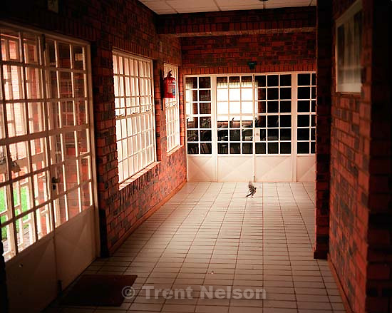 Pigeon trapped inside the Dobsonville LDS Chapel.<br />