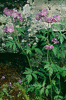 Purple phacelia<br /> Big Creek Trail<br /> Great Smoky Mountains National Park<br /> North Carolina