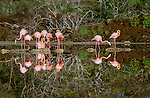 American flamingos, Galapagos Islands, Ecuador