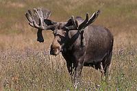 Elch, Bulle, Männchen, Elch-Bulle, Schaufler, Alces alces, Elk, Elan