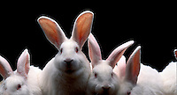 White rabbits.